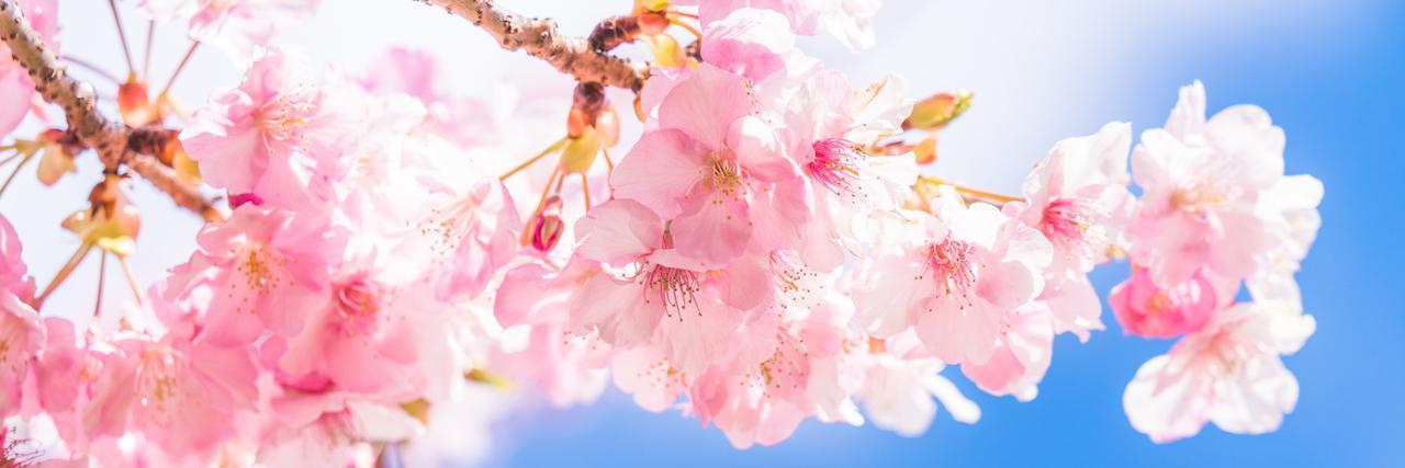 =東京都内のお花見スポット5選!2020年の開花・見頃の時期も
